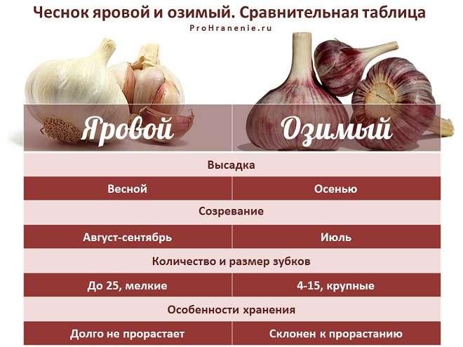 сравнительная таблица ярового и озимого чеснока