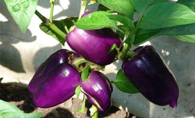 фиолетовый сладкий перец